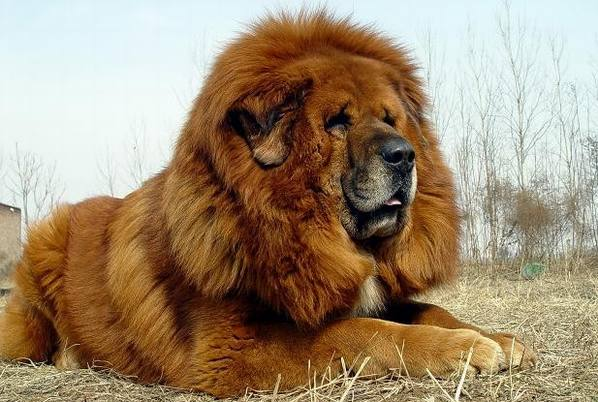 Picture of very big dog